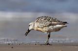 Red Knot Picking up Shell
