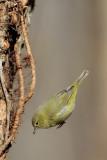 Orange-crowned Warbler Jumping