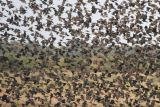 Red-Winged Blackbird Flock