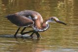 fishing tri-colored heron