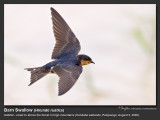 Barn_Swallow-KZ2L1305