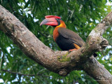 Rufous Hornbill  (a Philippine endemic)   Scientific name - Buceros hydrocorax   Habitat - Forest and edge.   [350D + Sigmonster (Sigma 300-800 DG)]