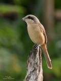 Brown Shrike   Scientific name - Lanius cristatus   Habitat - Common in all habitats at all elevations.   [PARANAQUE CITY, PHILIPPINES, 40D + 400 5.6L + Canon 2x TC, MF via Live View, manual exposure, tripod/geared head]