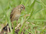 Oriental Pipit (formerly called Richard's Pipit)   Scientific name - Anthus rufulus   Habitat - On the ground in open country, grasslands, ricefields and parks.   [CANDABA WETLANDS, PAMPANGA, 40D + 500 f4 L IS + Canon 1.4x TC, bean bag]