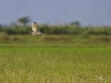 Australasian Grass-Owl   Scientific name - Tyto longimembris   Habitat - Grasslands and canefields.   [CANDABA WETLANDS, PAMPANGA, 1DM2 + 500 f4 IS + 1.4X TC, 475B/3421 support, near full frame]