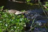 Yellow Bittern   Scientific name - Ixobrychus sinensis   Habitat - Freshwater wetlands.   [CANDABA WETLANDS, PHILIPPINES, 5DM2 + 500 f4 L IS + Canon 1.4x TC, 475B/3421 support]
