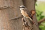 Brown Shrike   Scientific name - Lanius cristatus   Habitat - Common in all habitats at all elevations.   [PARANAQUE CITY, 5D2 + Sigmonster (Sigma 300-800 DG) + Canon 2x TC, near full frame, processed and resized to 1350x900]
