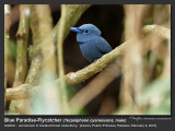 Blue Paradise-Flycatcher (male)