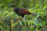 Philippine Coucal  (a Philippine endemic )   Scientific name - Centropus viridis   Habitat - Common from grasslands to forest up to 2000 m.   [TARLAC ECO-TOURISM PARK, TARLAC PROVINCE, 5D2 + 500 f4 IS + 1.4x TC, bean bag]