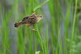 Zitting Cisticola   Scientific name - Cisticola juncidis   Habitat - Ricefields and wetter grassy areas.   [CANDABA WETLANDS, PAMPANGA, 5D2 + 500 f4 L IS + Canon 1.4x TC, bean bag]