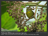 Yellowish_White-eye-IMG_5661.jpg