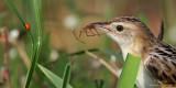 Zitting Cisticola   Scientific name - Cisticola juncidis   Habitat - Ricefields and wetter grassy areas.   [CANDABA WETLANDS, PAMPANGA, 5D2 + 400 2.8 L IS + Canon 2x TC, bean bag]