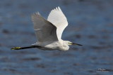 Little Egret   Scientific name: Egretta garzetta   Habitat: Coastal marsh and tidal flats to ricefields.   [COASTAL LAGOON, MANILA BAY, 5D2 + 500 f4 IS + Canon 1.4x TC, 475B/3421 support]
