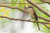 Brown Shrike   Scientific name - Lanius cristatus   Habitat - Common in all habitats at all elevations.   [PARANAQUE CITY, 5D2 + Sigmonster (Sigma 300-800 DG) + Canon 2x TC, near full frame, processed and resized to 1200x800]