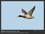 Mallard (Anas platyrhynchos, migrant, male) 