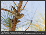 Chestnut Munias and Red Crossbills