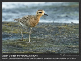 Asian_Golden-Plover-IMG_2033