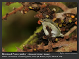 Bicolored_Flowerpecker-IMG_0786.jpg