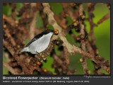 Bicolored_Flowerpecker-IMG_0778.jpg