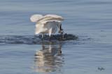 GOTCHA!!!  Little Egret (Egretta garzetta)   Habitat: Coastal marsh and tidal flats to ricefields.   Shooting info - Coastal Lagoon, Manila Bay, February 16, 2011, 1D4 + 500 f4 L IS + Canon 1.4x TC, 700 mm, f/7.1, ISO 400, 1/2500 sec, manual exposure in available light, 475B/516 support.