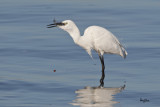 YUMMY.  Little Egret (Egretta garzetta)   Habitat: Coastal marsh and tidal flats to ricefields.   Shooting info - Coastal Lagoon, Manila Bay, February 16, 2011, 1D4 + 500 f4 L IS + Canon 1.4x TC, 700 mm, f/7.1, ISO 400, 1/2500 sec, manual exposure in available light, 475B/516 support.