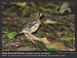 Ashy Ground-Thrush-IMG_0163