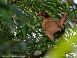 Red Junglefowl (female)  Scientific name - Gallus gallus  Habitat - Forest and forest edge up to 2000 m.  [350D + Sigmonster (Sigma 300-800 DG)]