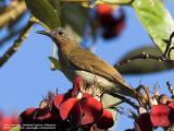 Philippine Bulbul  (a Philippine endemic)   Scientific name - Hypsipetes philippinus   Habitat - Forest edge, advanced second growth and forest.   [20D + Sigmonster (Sigma 300-800 DG)]
