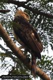 Philippine Hawk-Eagle 