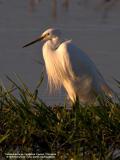 Little Egret  (Breeding plumage)  Scientific name: Egretta Garzetta   Habitat: Coastal marsh and tidal flats to ricefields.   [20D + Sigmonster (Sigma 300-800 DG) + Sigma 2x TC, 1600 mm, 80 m distance]