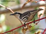 Stripe-headed Rhabdornis  (a Philippine endemic)   Scientific name - Rhabdornis mystacalis   Habitat - Lowland forest and second growth.   [20D + Sigmonster (Sigma 300-800 DG)]