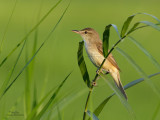 Clamorous Reed-Warbler   Scientific name - Acrocephalus stentoreus   Habitat - Uncommon, in tall grass, bamboo thickets in open country, and in reed beds where it sings from cover.   [350D + 100-400 L IS, hand held]