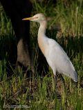 Cattle Egret  (Breeding plumage)   Scientific name: Bubulcus ibis   Habitat: Common in pastures, ricefields and marshes.   [1DM2 + 400 5.6L + Sigma 1.4x TC, hand held]