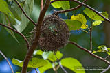 The empty nest seen from below. In a few more days, I expect the mother Balicassiao to lay some eggs in it.