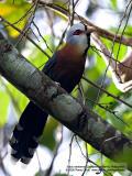 Scale-feathered Malkoha  (a Philippine endemic)   Scientific name - Phaenicophaeus cumingi   Habitat - Forest, edge and second growth up to 2000 m.   [20D + Sigmonster (Sigma 300-800 DG)]