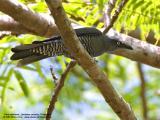 Bar-bellied Cuckoo-shrike (Female)   Scientific name - Coracina striata striata   Habitat - Forest and forest edge.   [20D + Sigmonster (Sigma 300-800 DG)]