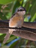 Brown Shrike   Scientific name - Lanius cristatus   Habitat - Common in all habitats at all elevations.   [20D + Sigmonster (Sigma 300-800 DG)]