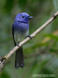 Black-naped Monarch (Male)   Scientific name - Hypothymis azurea   Habitat - Common resident all over the Philippines, in disturbed forest.   [1DM2 + Sigmonster (Sigma 300-800 DG)]