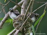 Black-naped Monarch  (Nestlings about to fledge)   Scientific name - Hypothymis azurea   Habitat - Common resident all over the Philippines, in disturbed forest.   [20D + 500 f4 L IS + Canon 1.4x TC]