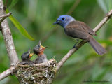 Black-naped Monarch  (Nestlings with adult female)   Scientific name - Hypothymis azurea   Habitat - Common resident all over the Philippines, in disturbed forest.   [20D + 500 f4 L IS + Canon 1.4x TC]