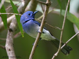 Black-naped Monarch (Male)   Scientific name - Hypothymis azurea   Habitat - Common resident all over the Philippines, in disturbed forest.   [20D + 500 f4 IS + Canon 1.4x TC]