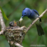 Black-naped Monarch  (nestlings and adult male)   Scientific name - Hypothymis azurea   Habitat - Common resident all over the Philippines, in disturbed forest.   [20D + 500 f4 IS + Canon 1.4x TC]