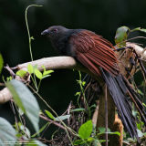 Philippine Coucal  (a Philippine endemic )   Scientific name - Centropus viridis   Habitat - Common from grasslands to forest up to 2000 m.     [20D + 500 f4 IS, hand held]