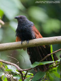 Philippine Coucal  (a Philippine endemic )   Scientific name - Centropus viridis   Habitat - Common from grasslands to forest up to 2000 m.    [20D + 500 f4 IS + Canon 1.4x TC, hand held]