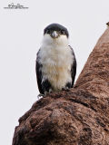 Philippine Falconet 