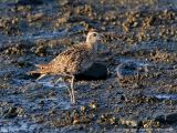 Asian Golden-Plover   Scientific name - Pluvialis fulva   Habitat - Common from coastal exposed mud and coral flats, beaches to ricefields.   [20D + 500 f4 L IS + Canon 1.4x TC, hand held]