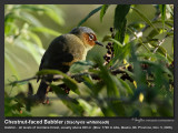 Chestnut-faced_Babbler-IMG_1972.jpg