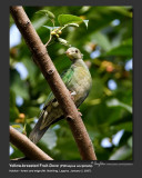 Yellow-breasted_Fruit-Dove-IMG_4616