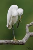 Little Egret   Scientific name: Egretta garzetta   Habitat: Coastal marsh and tidal flats to ricefields.   [MORONG, BATAAN PROVINCE, 40D + 500 f4 L IS + Canon 1.4x TC, bean bag]