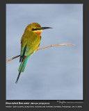 Blue-tailed Bee-eater -IMG_8928.jpg